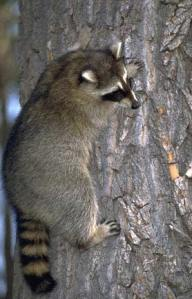 raccoon_on_tree