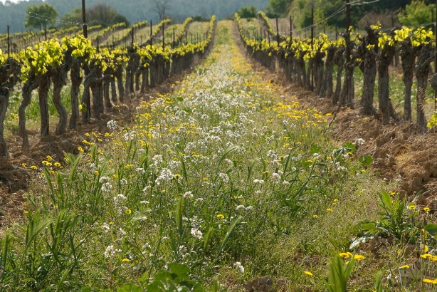 weeds in vineyard